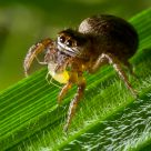 Jumping spider female feeds on an aphid