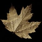 Sepia Spray-Spangled Maple Leaf