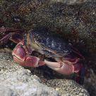 A Crab Standoff