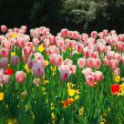 The tulips