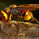 Greater Banded Hornet