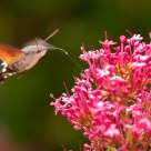 Hummingbird butterfly #1