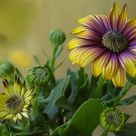 African Daisy with a soft look