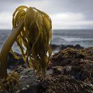 A Sea Palm