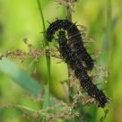 european caterpillar