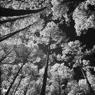 Forestal Upwardness