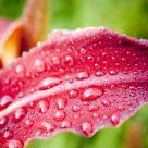 Devious Dew