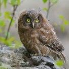 Young Tengmalm's Owl