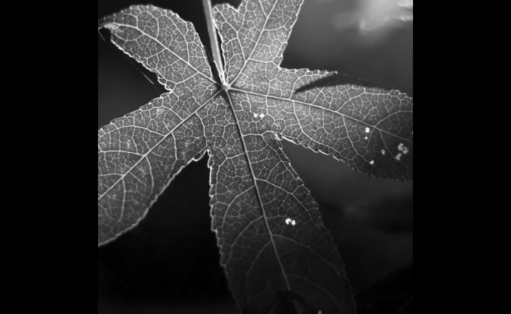 Leaf Detail in Black and White