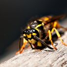 wood gathering wasp