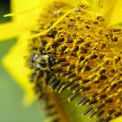 Bumblebee in the sunflower