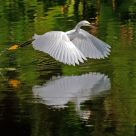 Snowy Egret Reflecting