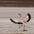 Flamingo's dancing