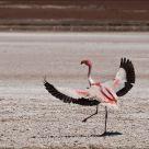 Flamingo's dancing