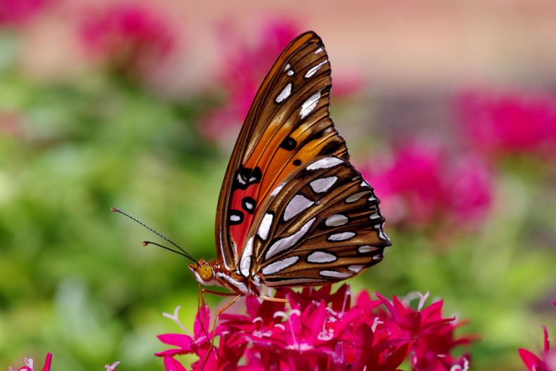 Gulf Fritillary