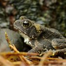 Small toad