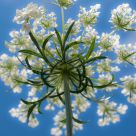 Queen Anne's Lace (queen ant's perspective)