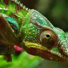 Madagascar Chameleon.