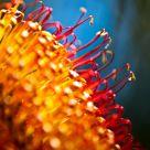 Australian Banksia