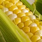 Fresh Maine Corn