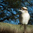 Kookaburra