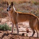 Desert Dingo