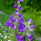 Purple bell's
