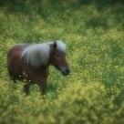 Buttercup & Horses