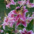 Swallowtails & Stargazers