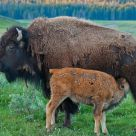 A feeding Bison Calf