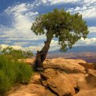 Lone Tree In Rock
