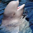 Young Beluga