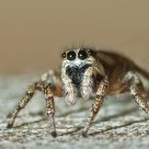 Metaphid Jumping Spider