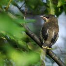 Immature waxwing