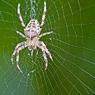 an elderly spider