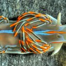The Opalescent Nudibranch (Hermissenda crassicornis)
