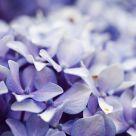 Blue velvet (II)