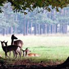fallow deers (bambi)