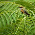 Rufous
