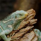 Angry Iguana