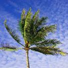 joyous palm