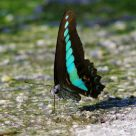 Graphium Sarpedon