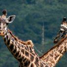 Double giraffe