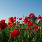 The last poppies