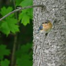 The Eastern Bluebird  comeback Part I - female