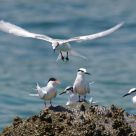 Black Naped and Roseate Tern