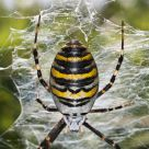 Wasp Spider