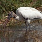 Imature Wood Stork