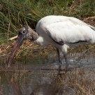 Imature Wood Stork