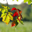 early fall red